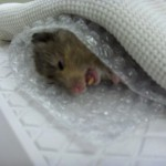Hamster During Recovery