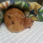 Guinea pig sow and pup after c-section