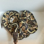 Two ball pythons